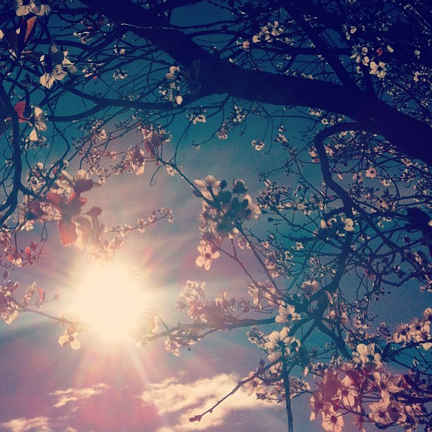 cherry blossoms and sunshine by wonderwebby